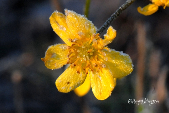 Frosted Buttercups