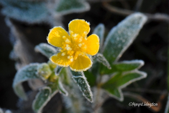 frosted-buttercup1