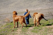 Tom dog (R) walks with Grandthing 3 and Jake (L) Jake is Tom dog's grand-pup.