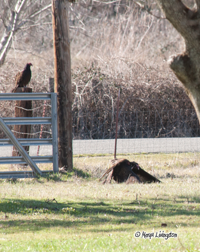 The vulture on the gate pounces on the other.