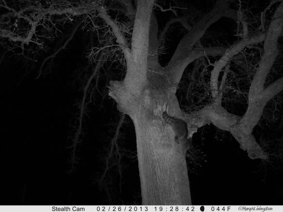 Raccoon-6