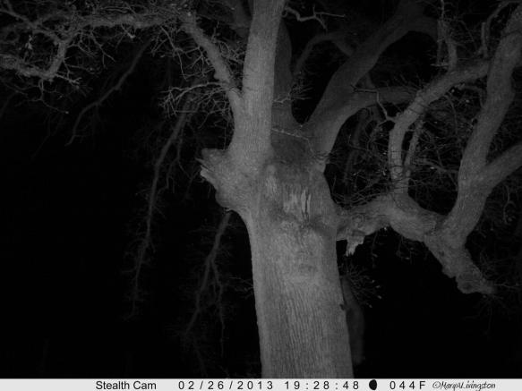 Raccoon-9