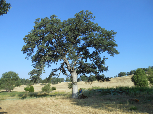 "Hollow oak tree. The vultures nest in the cavity every year. The entrance is 14 feet off the ground. to give you size perspective, I am 5'9"" tall."