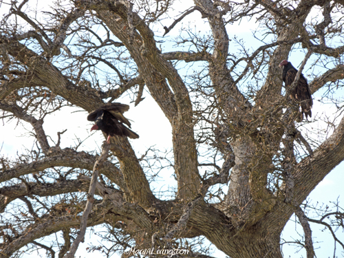 The pair of vultures in the nest tree. Turkey vultures live in our area year round. In February, a pair claims the nest. I don't know if it is the same pair each year.