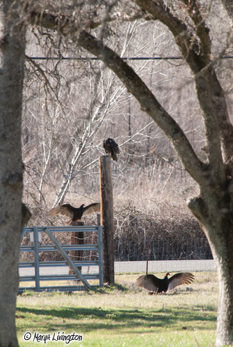 Vultures gather by at the lower gate. Two offer a display.