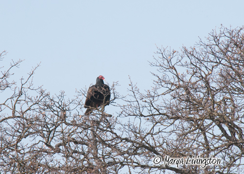 After successfully chasing the intruder away, the vulture perches in the nest tree.