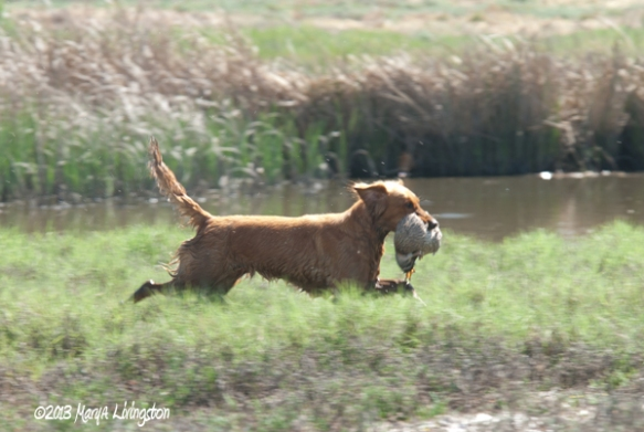 marking retriever, duck hunt