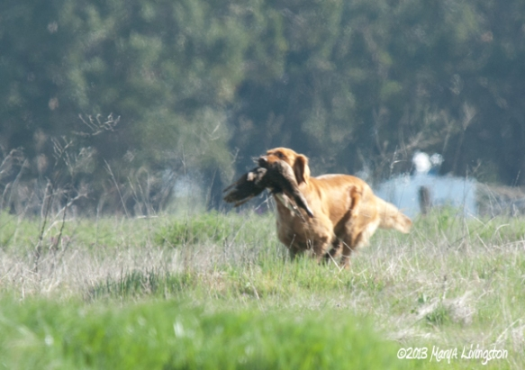 duck hunting, waterfowl hunting, retriever, working retriever