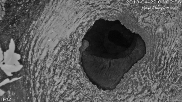 Vutlure in nest at night