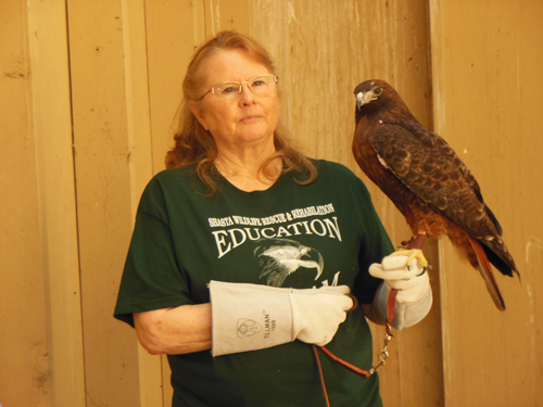 The Red-tailed hawk is the most common buteo (hawk) in North America.