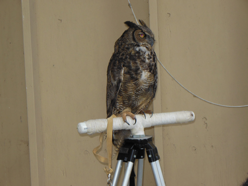 A great horned owl