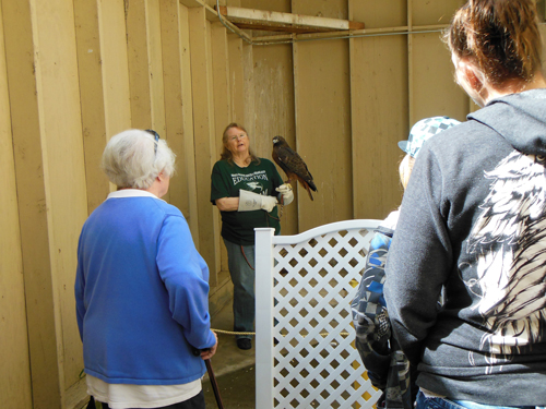 The care taker of an injured red-tailed hawk answers questions from the public.