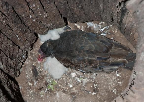 Turkey vulture chicks