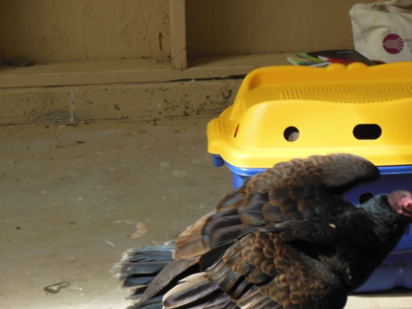 """""""Sunny,"""" a turkey vulture too injured to soar with his feathered kind, is a little camera shy."""