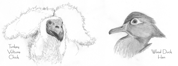Vulture Chick and Wood Duck Hen in pencil.