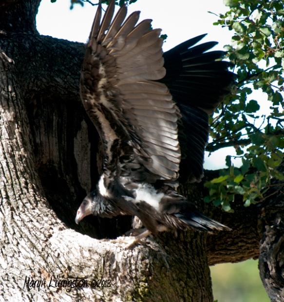 Turkey Vulture 9 weeks.