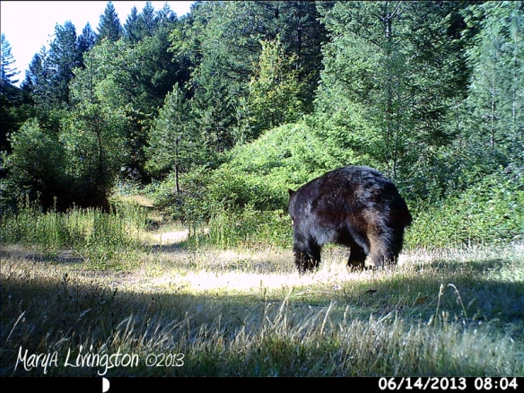 A big black bear boar, no doubt checking for wild blackberries.