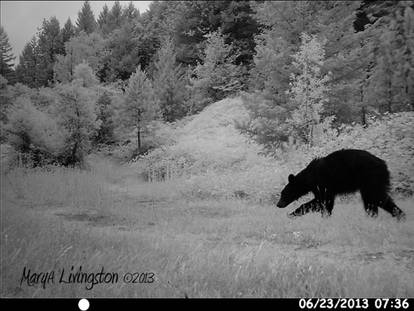 Young black Bear