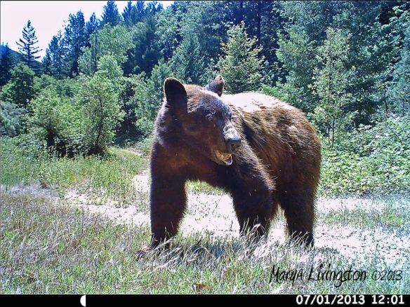 Black bear on trail cam.