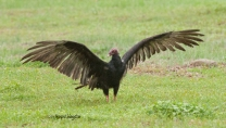 Once it left the deck, the vulture stretched its wings in the yard.