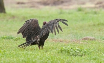maryalivingston_visiting_vulture05