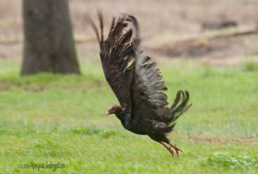 The tattered wings of the turkey vulture look lacy in an attempt to fly.