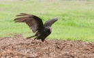 The turkey vulture makes its way to the garden area.