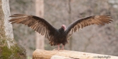 The turkey vulture airs its wings while standing on a post pile.