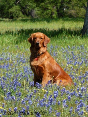 An eight months old Blitz in a field of lupine.