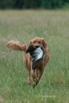 Kinta's first retrieve.