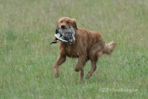 Kinta's second land retrieve.