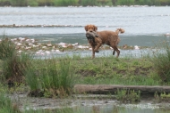 Kinta crosses water, land, water, land, water, and finally land for the final bird. A difficult retrieve for a young dog,
