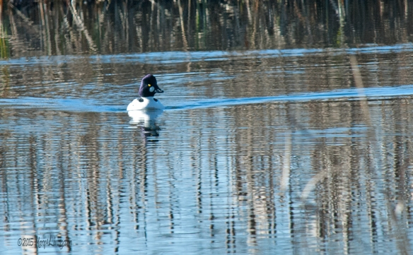 Common Goldeneye on our pond this morning.
