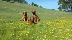 A nice shot of Blitz (front) with Kinta and Sailor in a patch of frying-pan poppies.