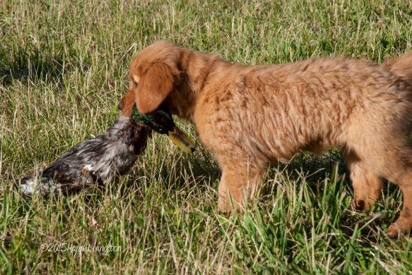 Bliss, 9-weeks-old, taking her place in her family of hunting retrievers.