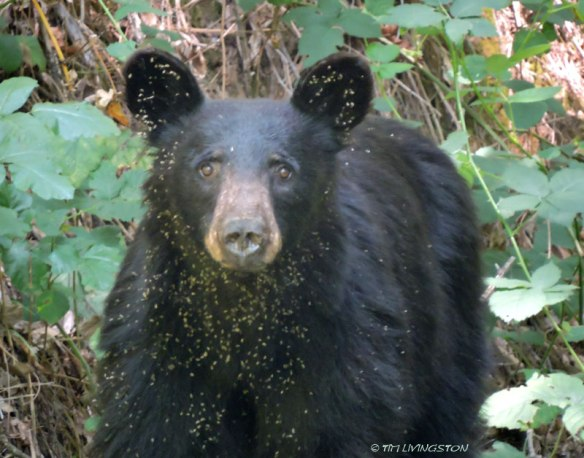 black bear, bear, wildlife, photography