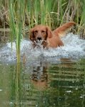 Tasha slips into the pond in an attempt to escape the pesky puppy.